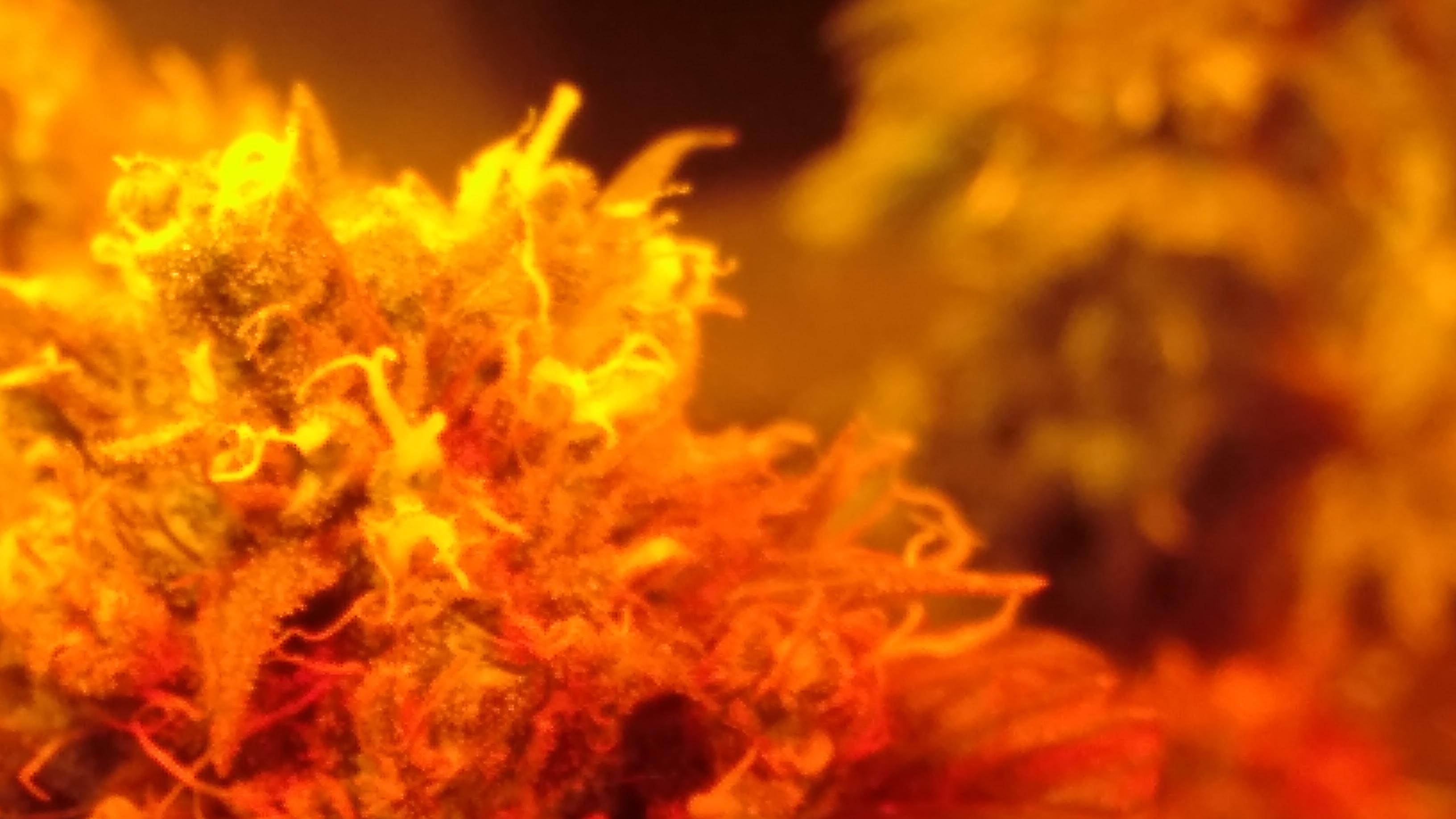 Cannabis Flower 2019