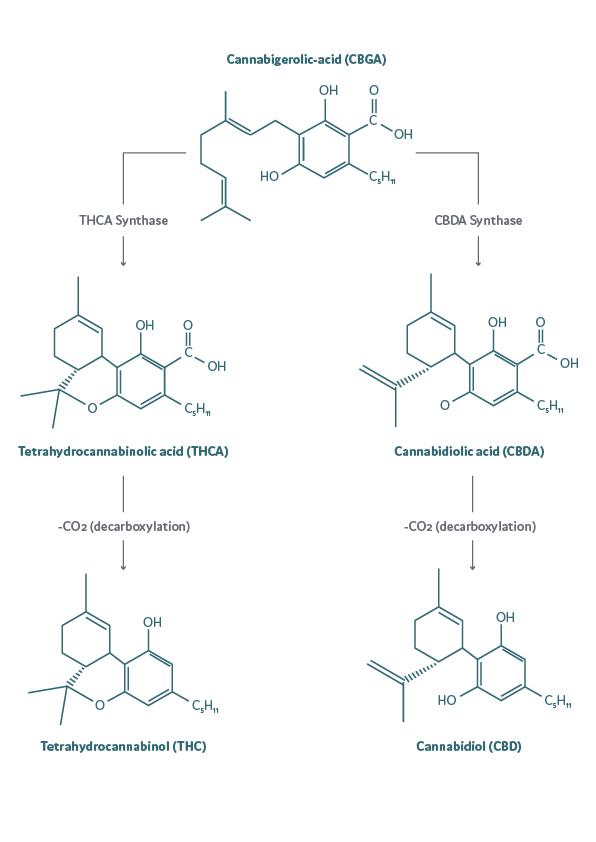 biosynthesis of CBGa